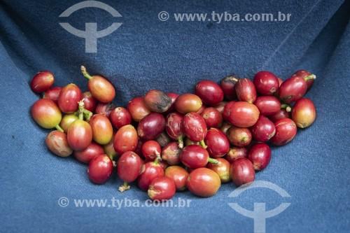 Detalhe de grãos de café - Parque Nacional da Tijuca - Rio de Janeiro - Rio de Janeiro (RJ) - Brasil