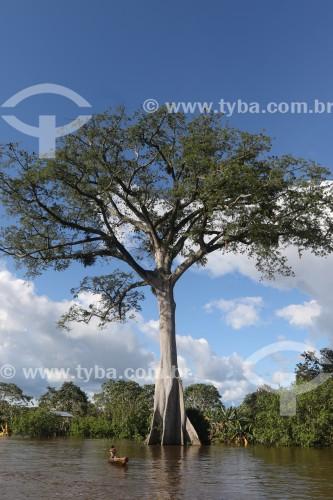 Árvore Sumaúma (Ceiba pentandra) na beira do Rio Solimões - Anamã - Amazonas (AM) - Brasil