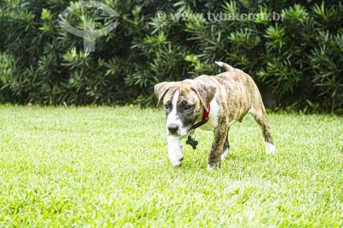 Filhote de cachorro da raça pitbull - Florianópolis - Santa Catarina (SC) - Brasil