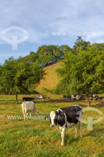 Gado holandês no pasto na zona rural da cidade de Guarani  - Guarani - Minas Gerais (MG) - Brasil