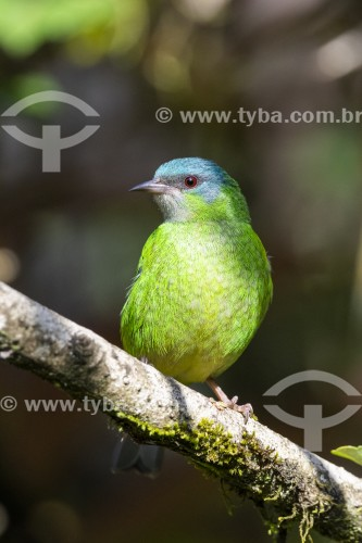 Detalhe de saí-azul (Dacnis cayana) fêmea - também conhecido como Saí-bicudo - na Área de Proteção Ambiental da Serrinha do Alambari - Resende - Rio de Janeiro (RJ) - Brasil