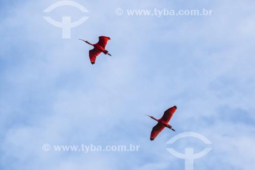 Guarás-vermelho (Eudocimus ruber) sobrevoando a Baía da Babitonga - Joinville - Santa Catarina (SC) - Brasil