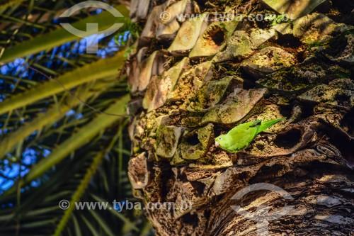 Periquito-de-encontro-amarelo (Brotogeris chiriri) - Porto Alegre - Rio Grande do Sul - Brasil