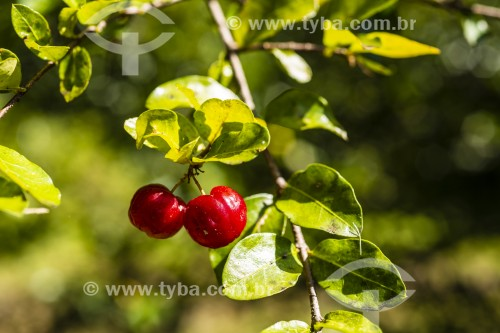 Acerola (Malpighia emarginata) - Fruta - Joinville - Santa Catarina (SC) - Brasil