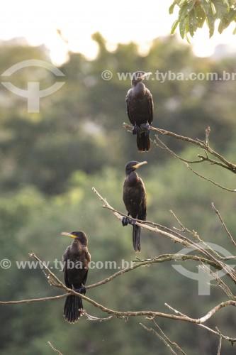 Biguás (Phalacrocorax brasilianus) - também conhecido como biguaúna, imbiuá, miuá ou corvo-marinho - na Reserva Ecológica de Guapiaçu - Cachoeiras de Macacu - Rio de Janeiro (RJ) - Brasil