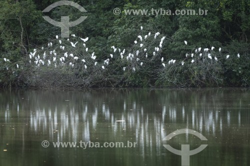 Lago na Reserva Ecológica de Guapiaçu com bando de Garça-vaqueira (Bubulcus ibis)  - Cachoeiras de Macacu - Rio de Janeiro (RJ) - Brasil