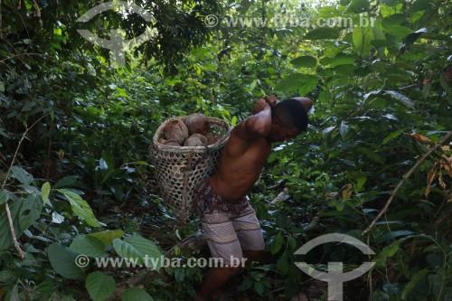 Colheita de Castanha-do-pará na Reserva de Desenvolvimento Sustentável Mamirauá - Uarini - Amazonas (AM) - Brasil