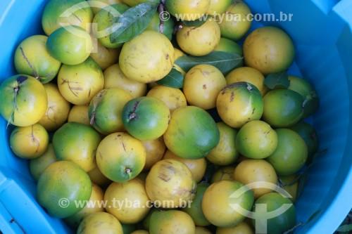 Detalhe do fruto do abieiro (Pouteria caimito) - Reserva de Desenvolvimento Sustentável Mamirauá - Uarini - Amazonas (AM) - Brasil