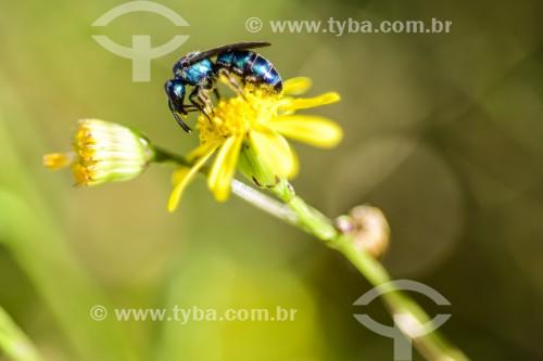 Abelha pousada em flor - Xangri-lá - Rio Grande do Sul (RS) - Brasil