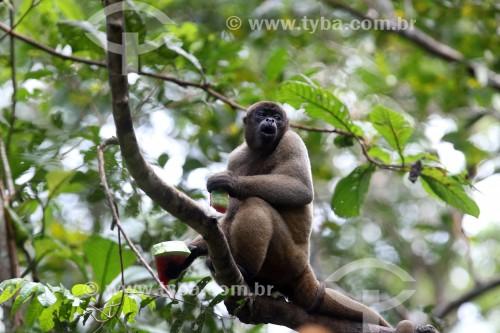 Macaco Barrigudo (Lagothrix lagotricha) - Reserva de Desenvolvimento Sustentável Mamirauá - Uarini - Amazonas (AM) - Brasil