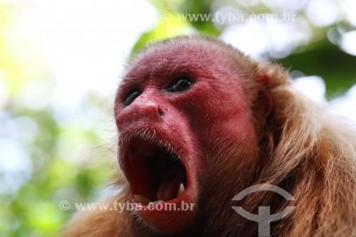 Macaco Uacari-vermelho (Cacajao rubicundus) - Reserva de Desenvolvimento Sustentável Mamirauá - Uarini - Amazonas (AM) - Brasil