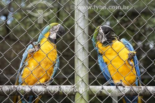 Arara-canindé (Ara ararauna) - também conhecida como Arara-de-barriga-amarela no Centro de Triagem de Animais Silvestres (CETAS) - Floresta Nacional Mário Xavier - Seropédica - Rio de Janeiro (RJ) - Brasil