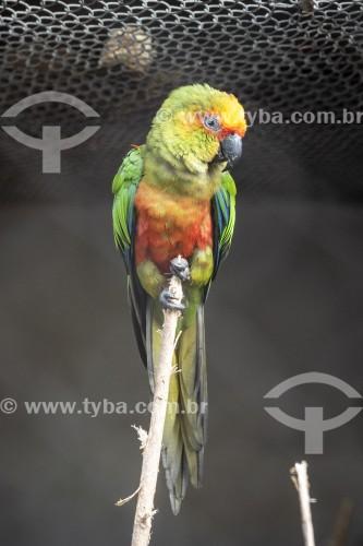 Jandaia-de-testa-vermelha (Aratinga auricapillus) no Centro de Triagem de Animais Silvestres (CETAS) - Floresta Nacional Mário Xavier - Seropédica - Rio de Janeiro (RJ) - Brasil
