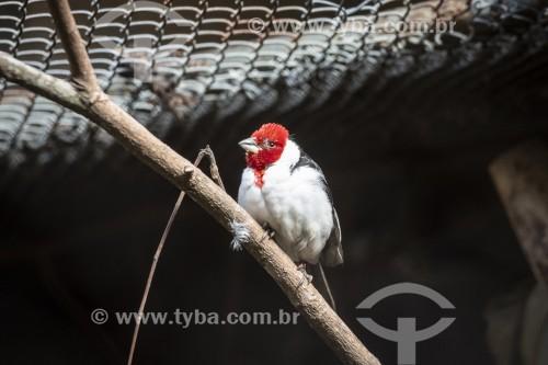 Cardeal-do-nordeste (Paroaria dominicana) no Centro de Triagem de Animais Silvestres (CETAS) - Floresta Nacional Mário Xavier - Seropédica - Rio de Janeiro (RJ) - Brasil
