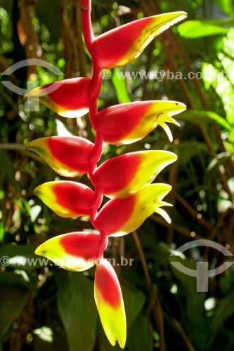 Detalhe de heliconia (Heliconia rostrata) - Parque Estadual da Pedra Branca - Rio de Janeiro - Rio de Janeiro (RJ) - Brasil