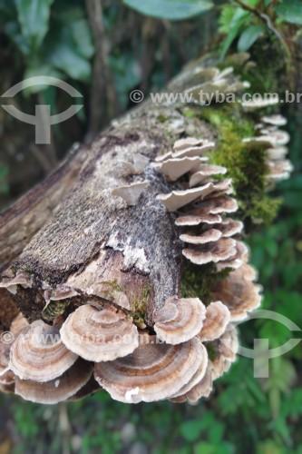 Detalhe de fungos em tronco de árvore - Resende - Rio de Janeiro (RJ) - Brasil