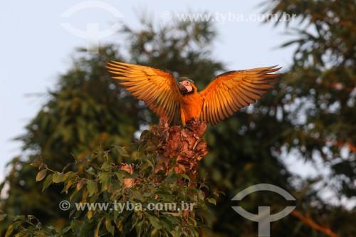 Arara-Canindé (Ara ararauna) - também conhecida como Arara-de-barriga-amarela - Manaus - Amazonas (AM) - Brasil