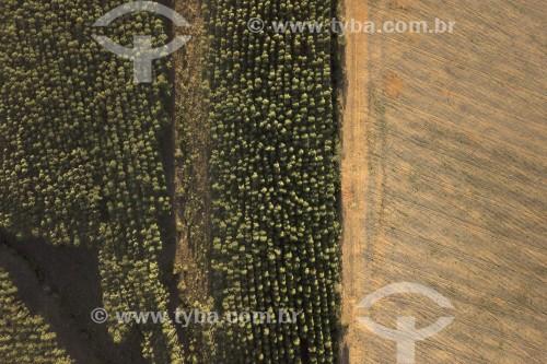 Foto feita com drone de Monocultura de eucalipto - Local de transição entre o Cerrado e a Mata Atlântica - Carrancas - Minas Gerais (MG) - Brasil