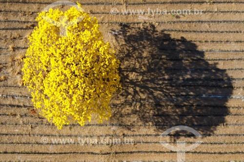 Foto feita com drone de Ipê-amarelo florido - Bálsamo - São Paulo (SP) - Brasil