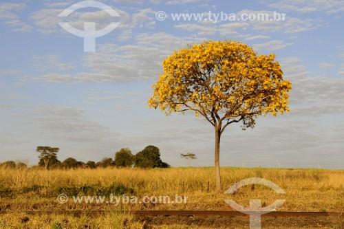 Ipê-amarelo florido - Bálsamo - São Paulo (SP) - Brasil