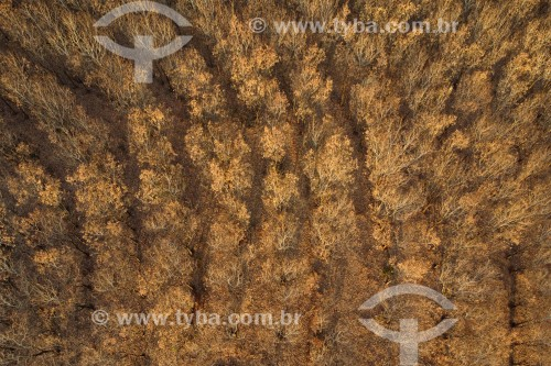 Foto feita com drone de seringueiras com as folhas queimadas, provocada pela geada - Olímpia - São Paulo (SP) - Brasil