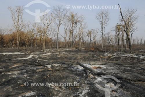 Área de reflorestamento destruida por incêndio - Olímpia - São Paulo (SP) - Brasil
