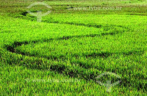 Plantação de arroz - Rio Grande - RS - Brasil  - Rio Grande - Rio Grande do Sul - Brasil