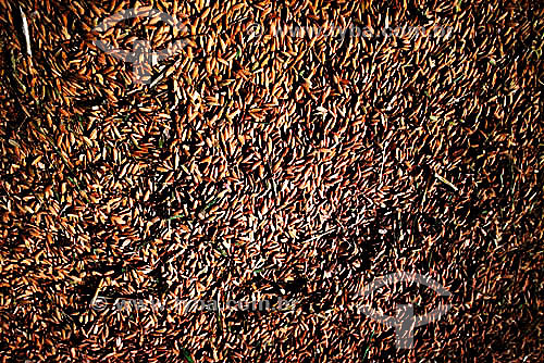 Detalhe de grãos de arroz com casca - Brasil     Detail of grains of rice with husks - Brazil