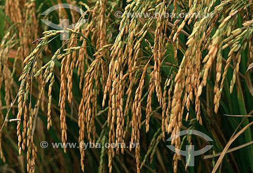 Plantação de arroz - Jaguarão - RS - Brasil  - Jaguarão - Rio Grande do Sul - Brasil