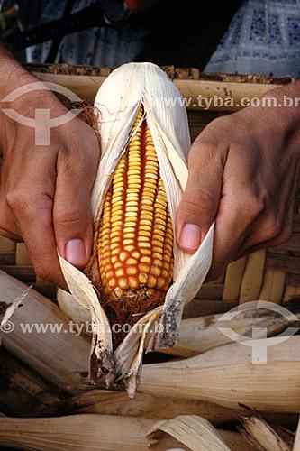 Detalhe de mãos abrindo espiga de milho - São João da Glória - MG - Brasil  - São João Batista do Glória - Minas Gerais - Brasil