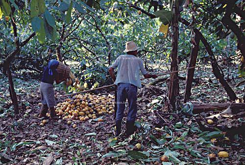 Homem e mulher, trabalhadores, em colheita manual de cacau em fazenda no sul da Bahia - Brasil / Data: 2008