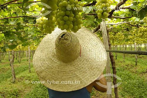 Parreira de uva Itália - Vale do São FranciscoLocal: Petrolina - PEData: 05/2006