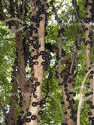 Fruta - Jabuticaba