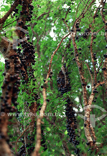 Detalhe da árvore da jabuticaba, Jabuticabeira - Brasil