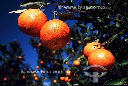 Detalhe de árvore tangerina - Ibiporã - PR - Brasil  - Ibiporã - Paraná - Brasil