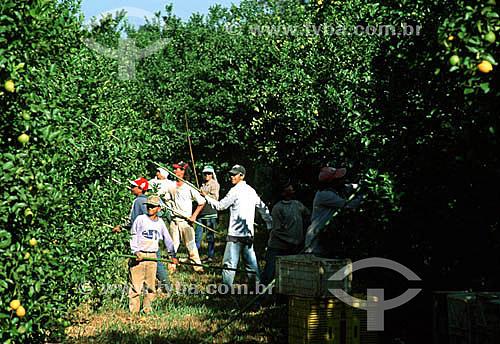 Homens em colheita manual de limão siciliano - Reginópolis - SP - Brasil  - Reginópolis - São Paulo - Brasil