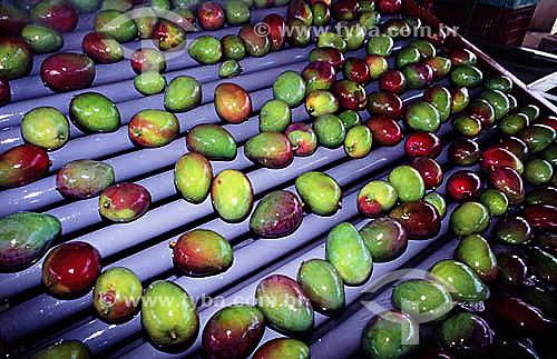 Fruta - Produção de mangas em Petrolina - Pernambuco - Brasil  - Petrolina - Pernambuco - Brasil