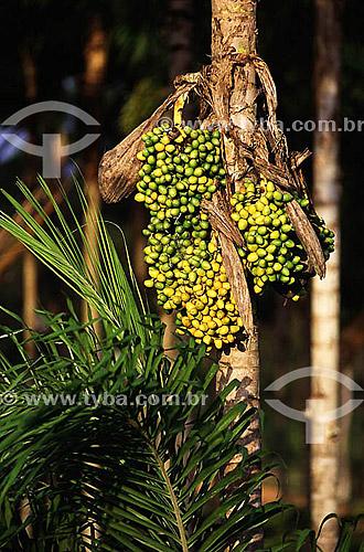 Pupunha (Bactris gasipaes), Amazônia - Brasil, fruta