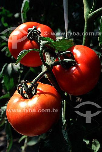 Tomates, horticultura - Jarinú - SP - Brasil  - Jarinu - São Paulo - Brasil