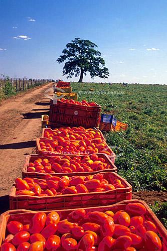 Agricultura - Colheita tomate para industrialização conhecido como tomate rasteiro ou tomate industrial - Cafelândia -  São Paulo - Brazil  - Cafelândia - São Paulo - Brasil