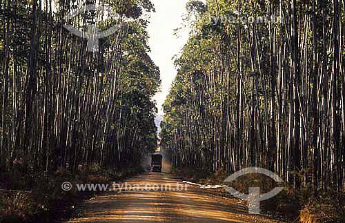 Reflorestamento, plantação de eucaliptos - Vale do Jequitinhonha - Minas Gerais - Brasil / Data: 1989