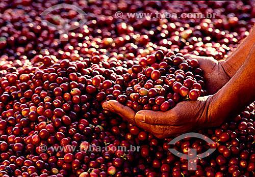 Detalhe de mãos segurando grãos de café (Coffea arabica) - Município de Guaramiranga - Serra de Baturité - CE - Brasil  - Guaramiranga - Ceará - Brasil