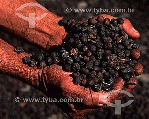 Detalhe de mãos segurando grãos secos de café (Coffea arabica) - Município de Guaramiranga - Serra de Baturité - CE - Brasil  - Guaramiranga - Ceará - Brasil