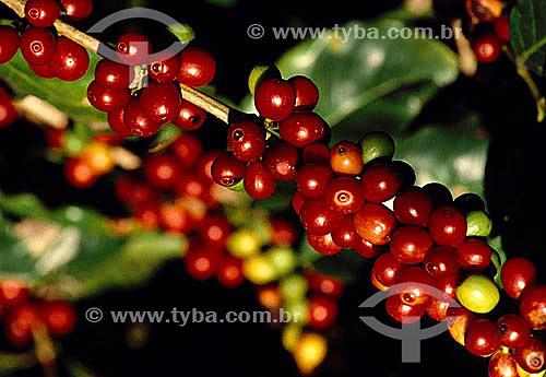 Detalhe de galho de cafeeiro coberto com seu fruto: o café - Ibiporã - PR- Brasil  - Ibiporã - Paraná - Brasil