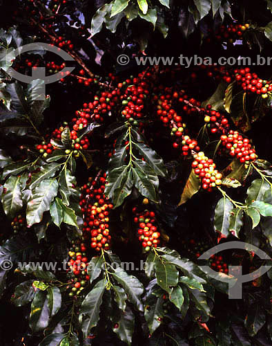 Café (Coffea arabica) - frutos pendentes - sul do Brasil