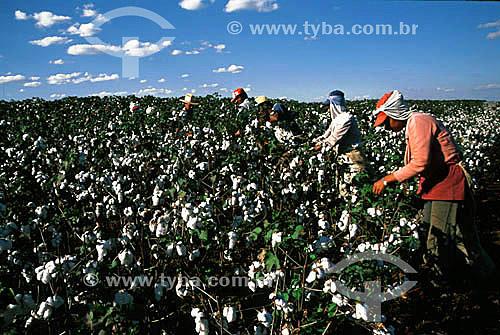 Homens fazendo colheita manual em plantação de algodão - Porteirão - GO - Brasil / Data: 2000
