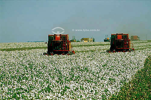 Colheita mecanizada em plantação de algodão - Itiquira - MT - Brasil / Data: 06/2001
