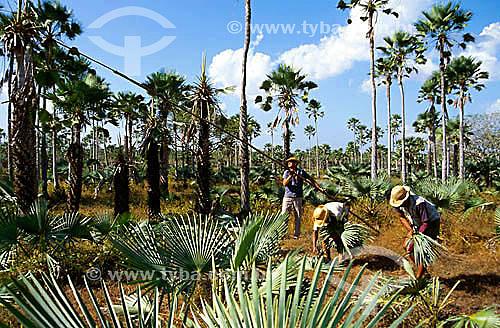 Assunto: Trabalhadores na extração de folhas de Carnaúba (Copernicia cerifera) - folhas usadas para fazer telhados / Local: Granja - Ceará - Região Nordeste - Brasil / Data: 2000