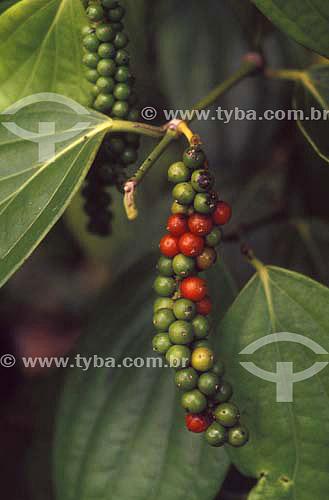 (Piper nigrum) Pimenta-do-reino - Agricultura - Tomé Açú - Pará - Brasil / Data: 2004 /