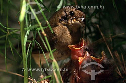 (Sporophila caerulescens) - Pássaro Coleiro , Coleirinha ou Papa-Capim alimenta seus filhotes no ninho - Parque Nacional das Emas - GO - Brasil. Data: 2005  O Parque é Patrimônio Mundial pela UNESCO desde 16-12-2001.